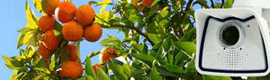 Auge Mobotix video surveillance applies to the Valencian orchard